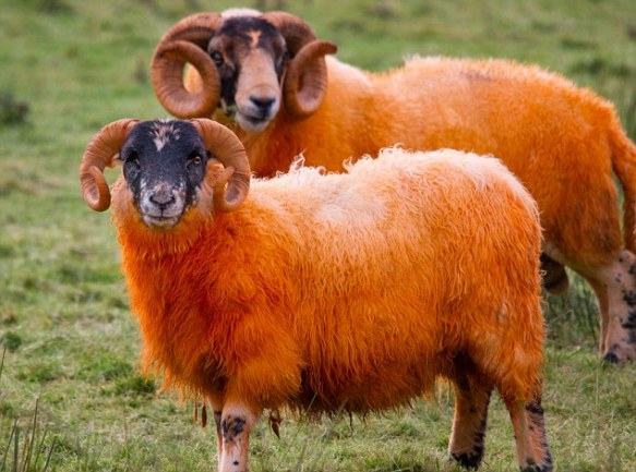 A flock of orange dyed sheep brighten up the Isle of Mull