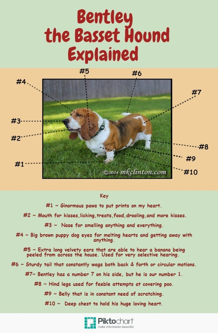 The Basset Hound Explained